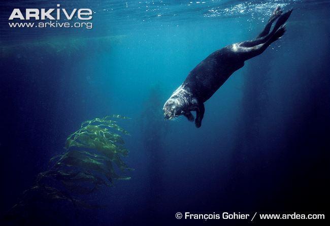 Californian-sea-otter-swimming