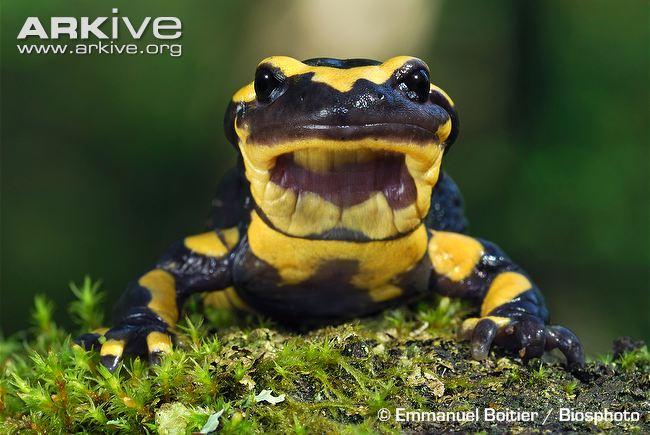 Common Fire Salamander