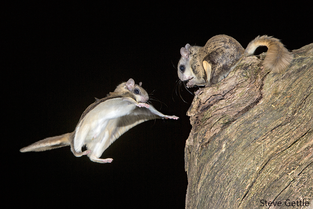 Southern Flying Squirrel. (Photo by Steve Gettle)