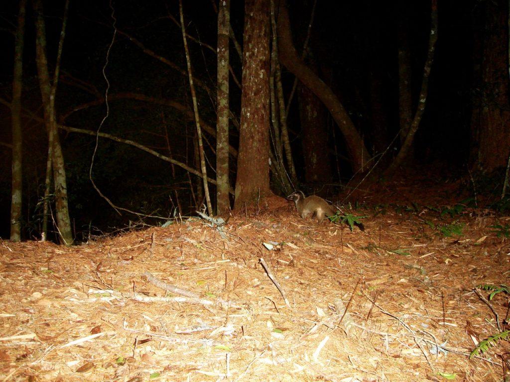 Masked Palm Civet.