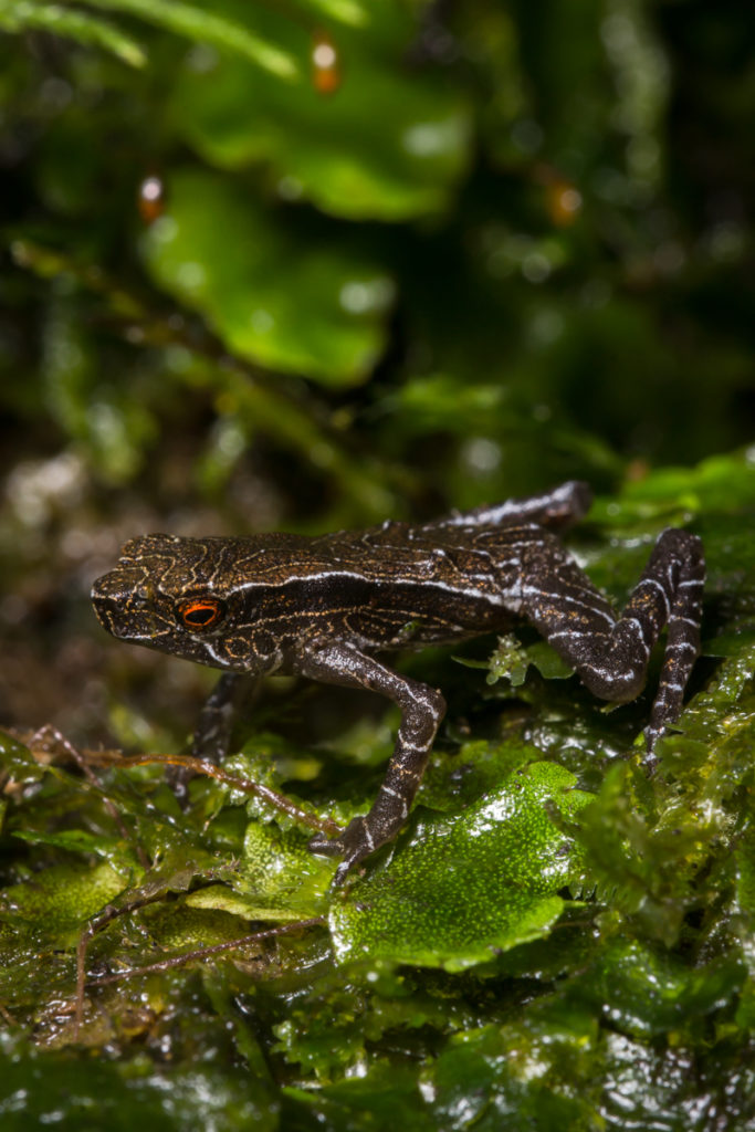The Tandayapa Andes Toad had been lost to science since 1970. (Photo by Ross Maynard, The Biodiversity Group)