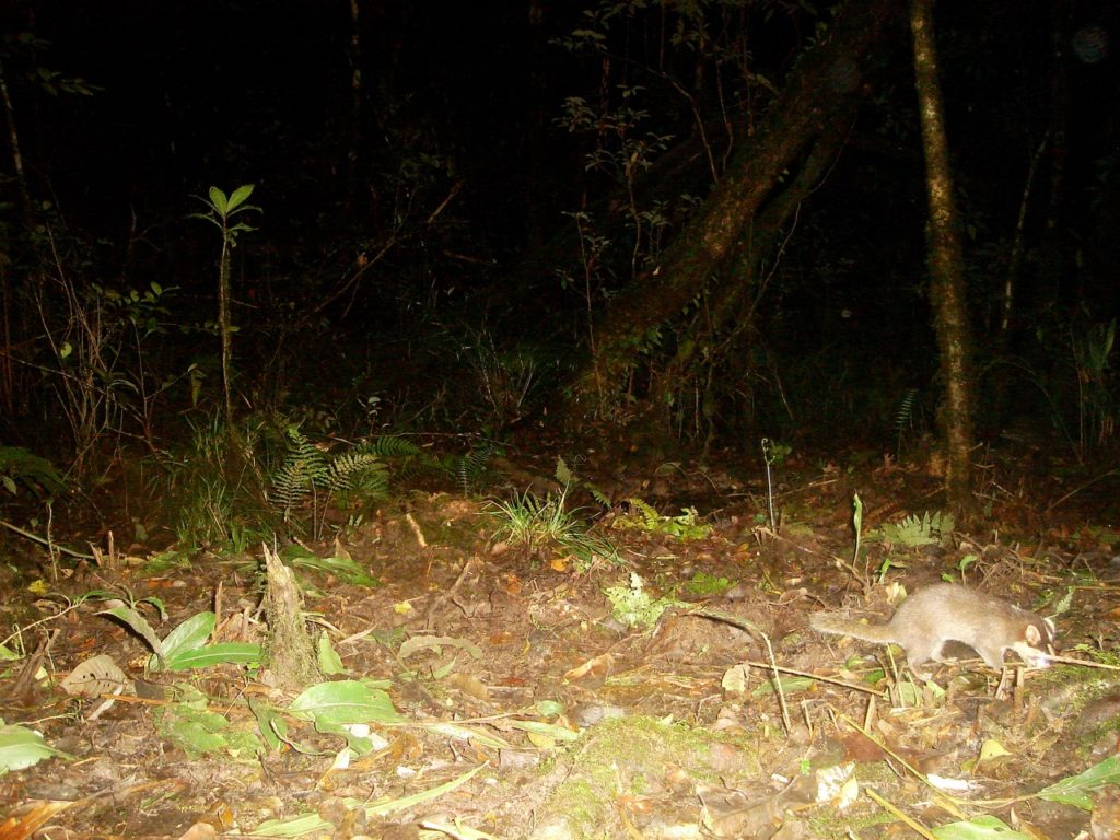One of two species of ferret badger in the Annamites.