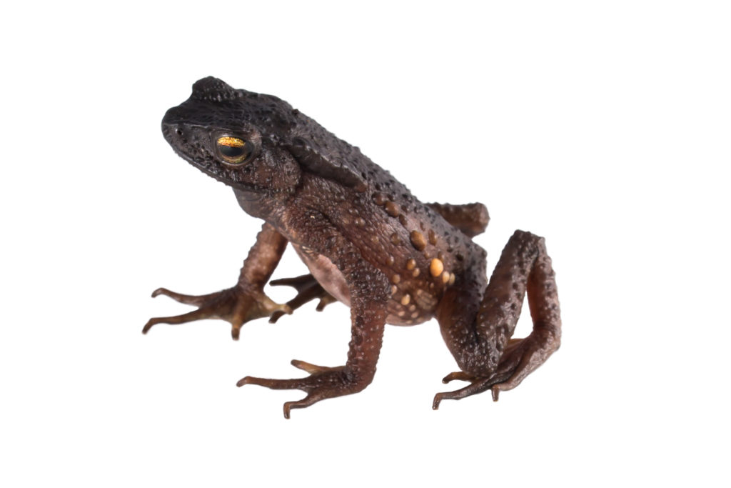 Based on a recent reassessment, the toad's IUCN Red List status will likely be changed from Data Deficient to Critically Endangered. (Photo by Ross Maynard, The Biodiversity Group)
