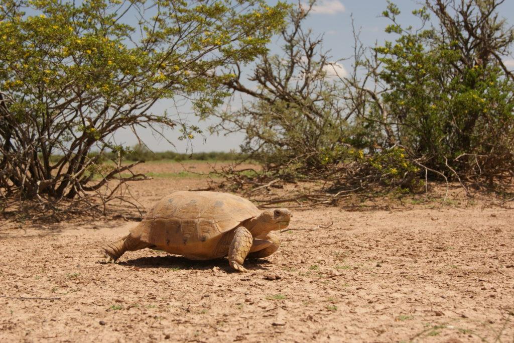 Bolson Tortoise. Photo courtesy Rosalinda Palomo-Ramos.