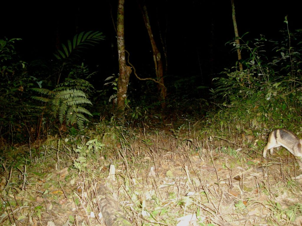 Annamite Striped Rabbit caught in mid-hop on a camera trap set deep in the forests of Laos. (Courtesy of Andrew Tilker)