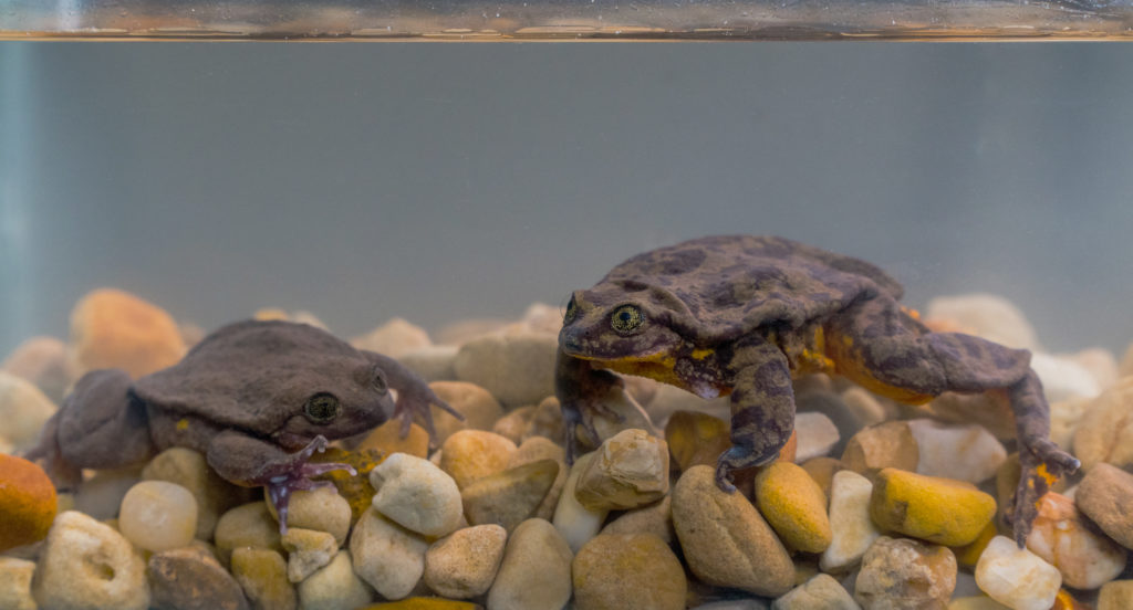 Romeo and Juliet, Sehuencas Water Frogs from Boliva