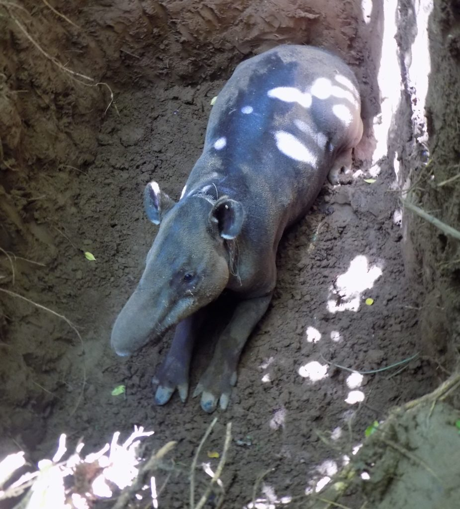 Almuk the Baird's Tapir was recaptured in March and his collar is providing unique data showing how Hurricane Otto has impacted his movements through Indio Maíz Biological Reserve. (Photo courtesy of Nicaragua Tapir Project)