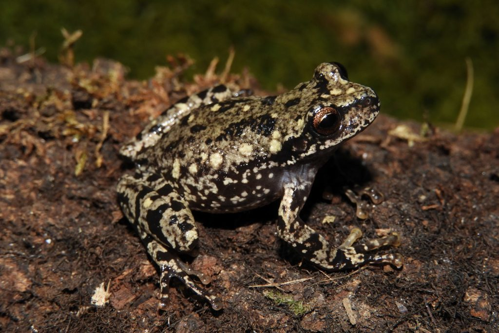 The Baritú's Marsupial Frog had not been observed in the wild since 1993. (Photo by Mauricio Akmentins)