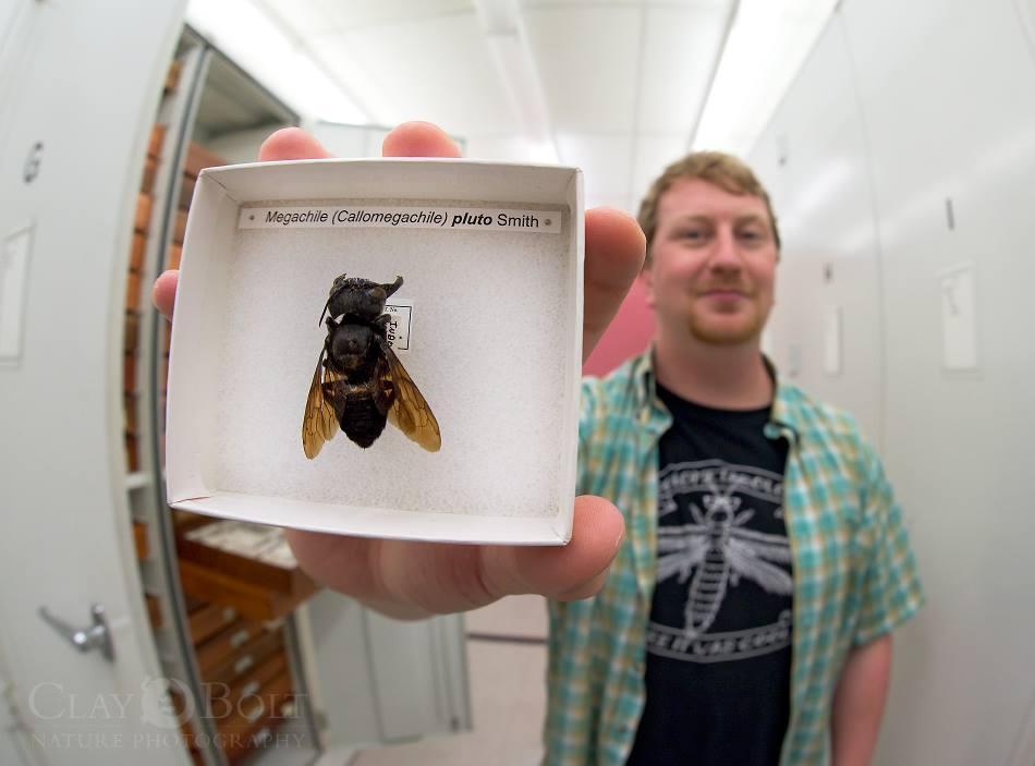 Wallace's Giant Bee specimen
