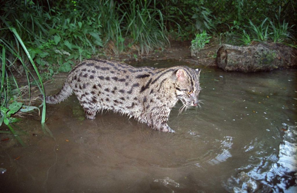 Fishing Cats are rare for their habit of…fishing. (Photo by Neville Buck)