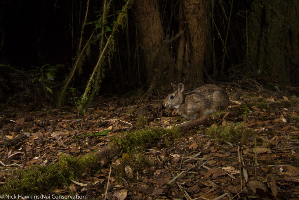 Dice's Cottontail is found nowhere else in the world. (Photo by Nick Hawkins/Nai Conservation)