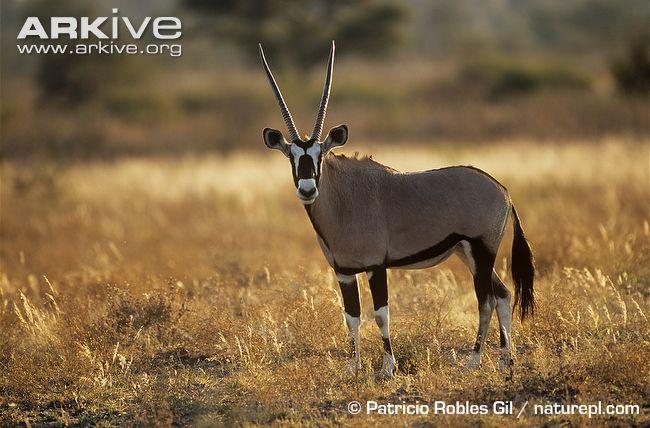 patricio robles gil antelope