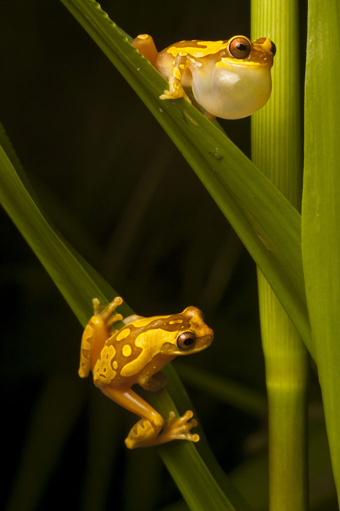 A male hourglass frog, Dendropsophus ebraccatus, calls to a female on a blade of grass below on the Osa Peninsula of Costa Rica. (Photo by Robin Moore)