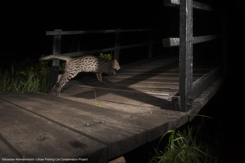 Ratnayaka has tracked Mizuchi the urban Fishing Cat since 2015.
