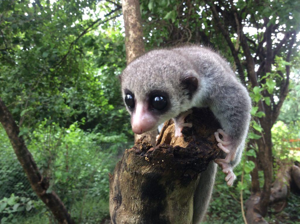 Sheth's Lemur is named after Brian Sheth, GWC's board chair. (Photo by Richard Randriamampionona)