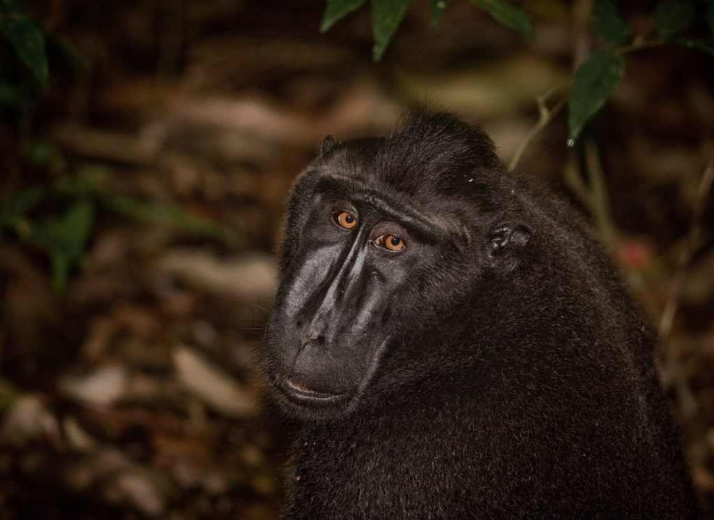 Critically Endangered Crested Black Macaque in north Sulawesi. © Robin Moore