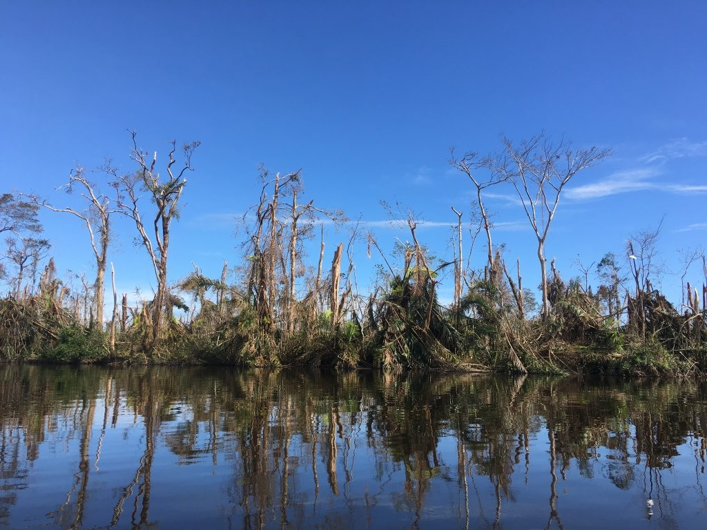 The Raphia palm swamps were hit hard by Hurricane Otto. The majority of the palm leaves blew over or broke off, exposing the trees sprinkled between the palms to the storm's winds. (Photo by Camilo de Castro Belli)