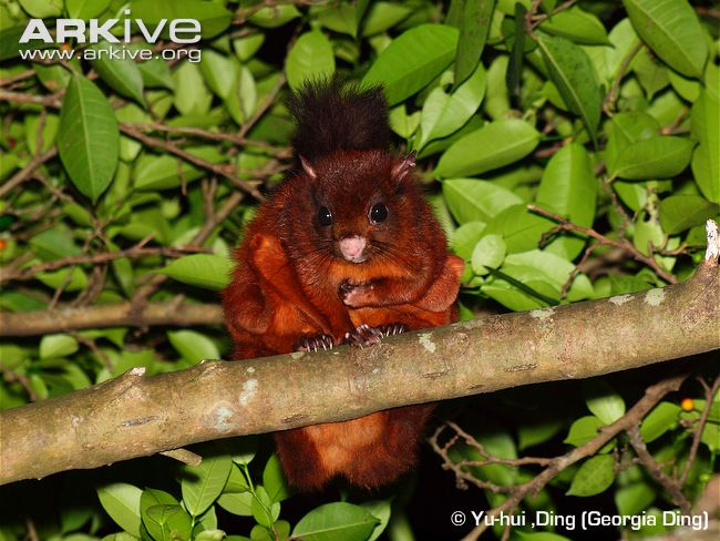 Indian Giant Flying Squirrel.