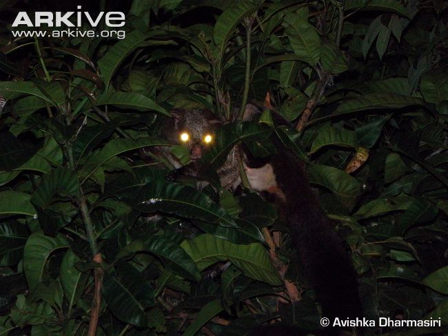 Indian-giant-flying-squirrel-in-tree-at-night