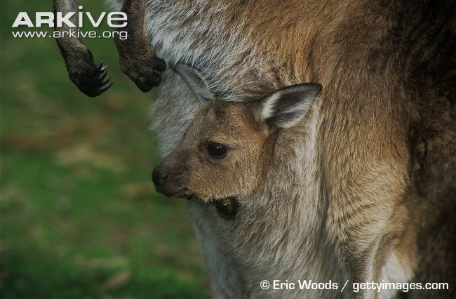 Infant-western-grey-kangaroo-in-the-pouch