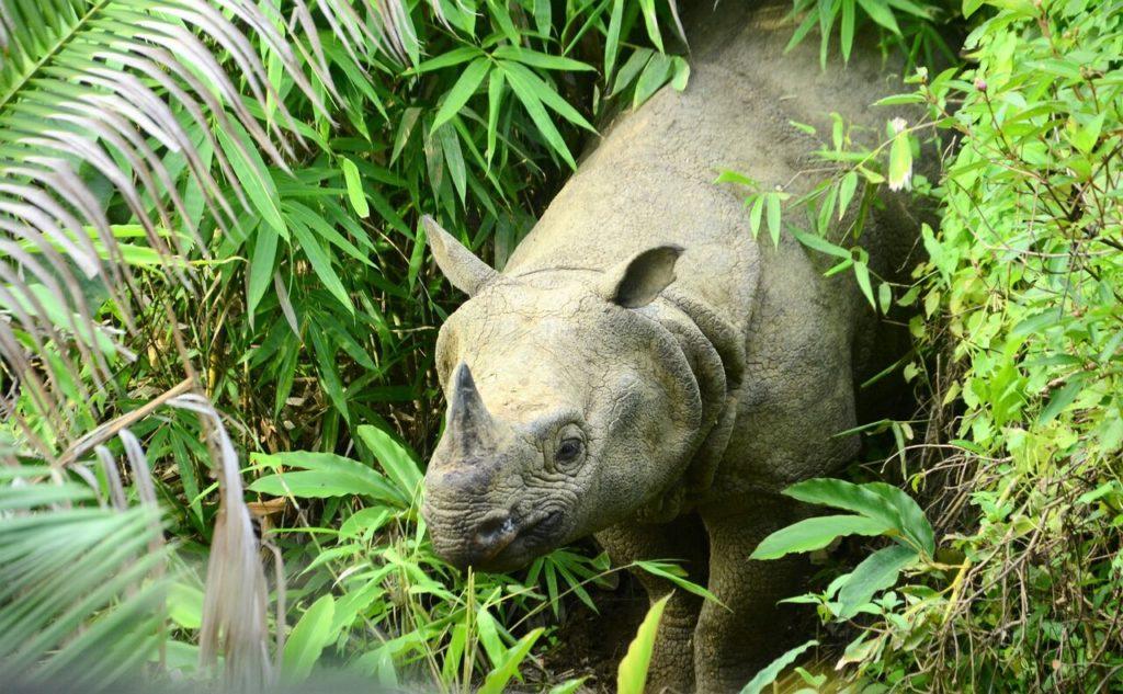 Javan Rhino (Photo by WWF-Indonesia)