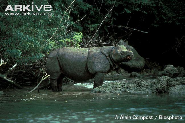 Javan-rhinoceros-in-shallows-of-river