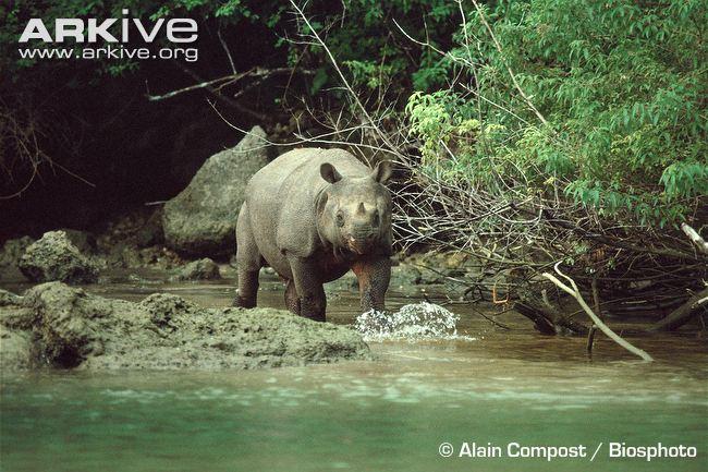 Javan-rhinoceros-walking-through-water