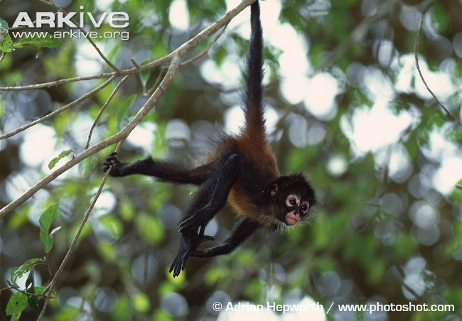 Juvenile-black-handed-spider-monkey-hanging-in-a-tree