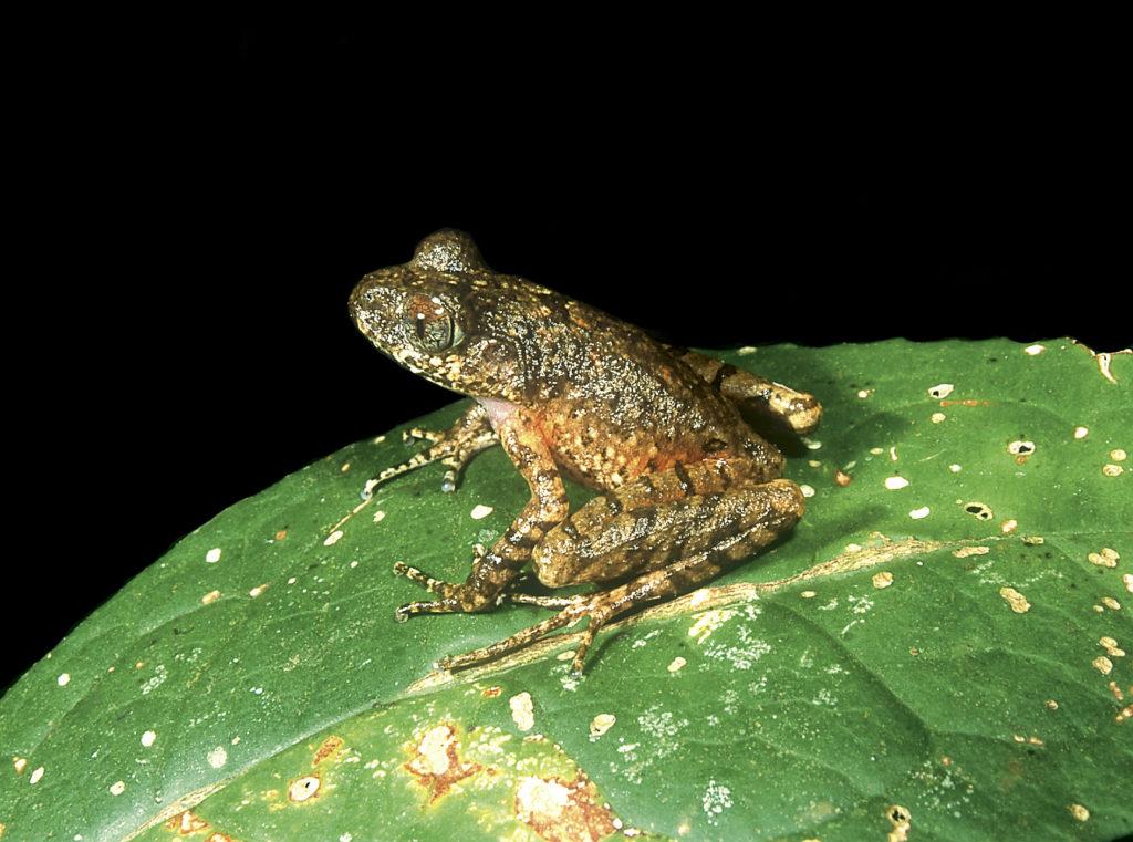 Kinabalu-Slender-Litter-Frog
