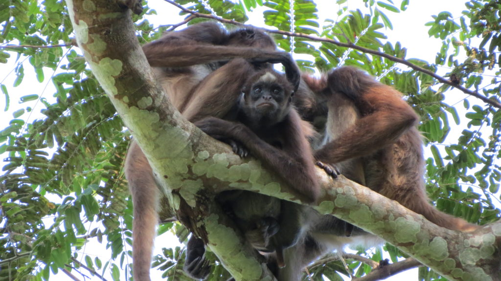 Brown spider monkeys grooming. Photo courtesy Andres Link.