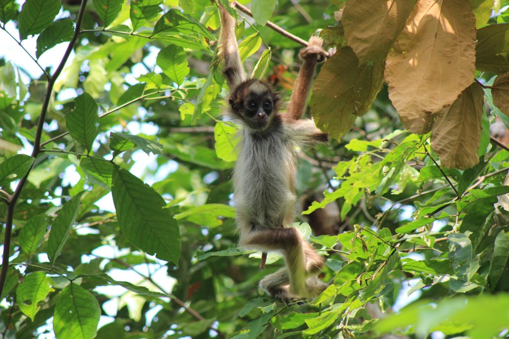 Brown spider monkey. Photo courtesy Andres Link.