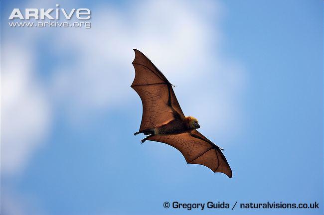 Mauritian-flying-fox-in-flight