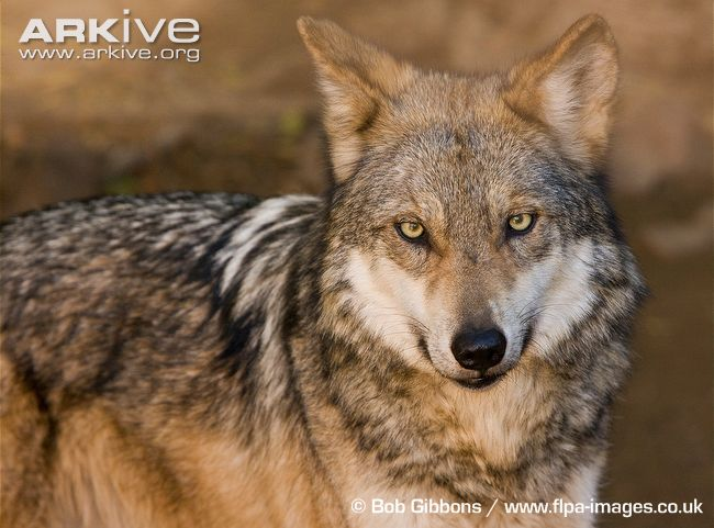 Mexican-wolf-portrait