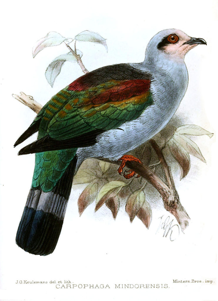 Mindoro Imperial-pigeon