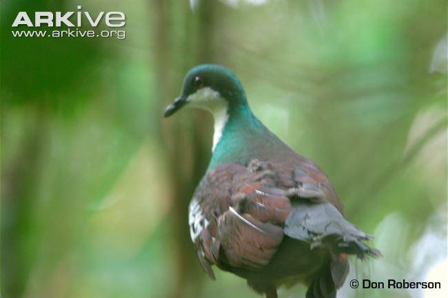 Mindoro Bleeding-heart Pigeon