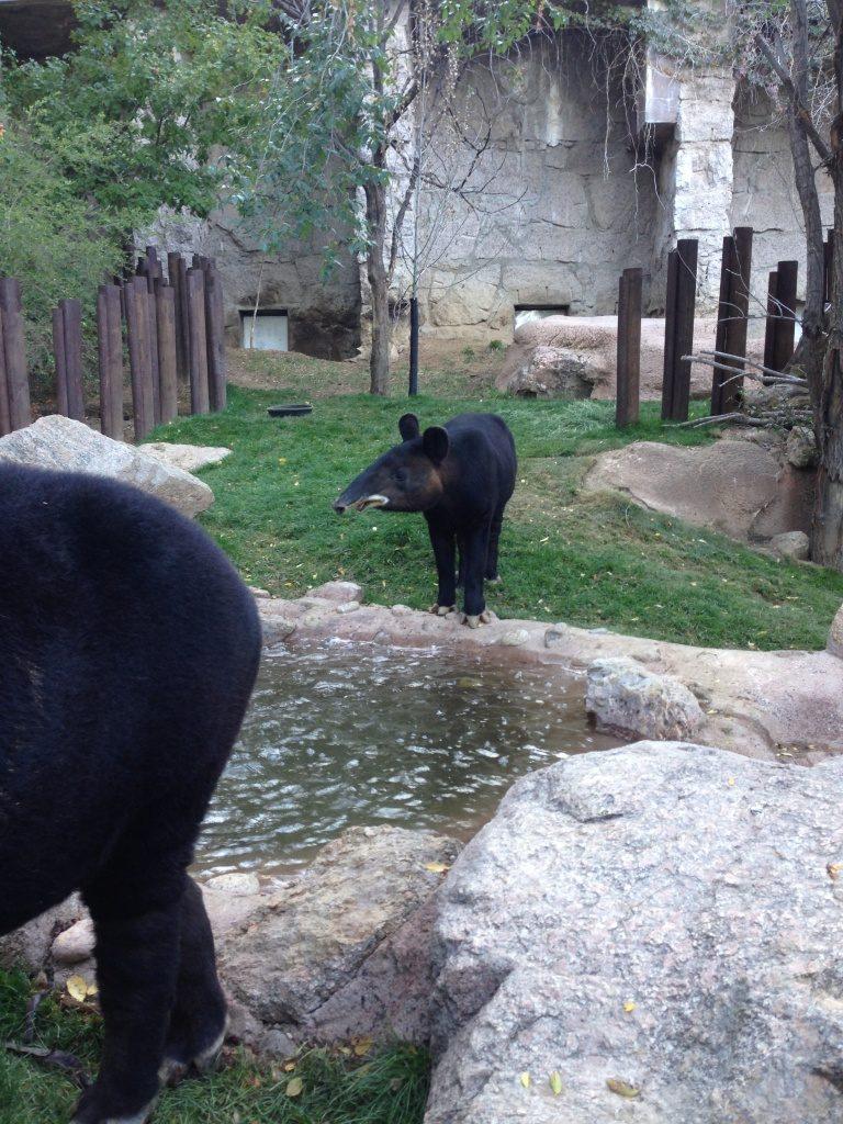 Mountain Tapir (Photo by Chris Jordan)