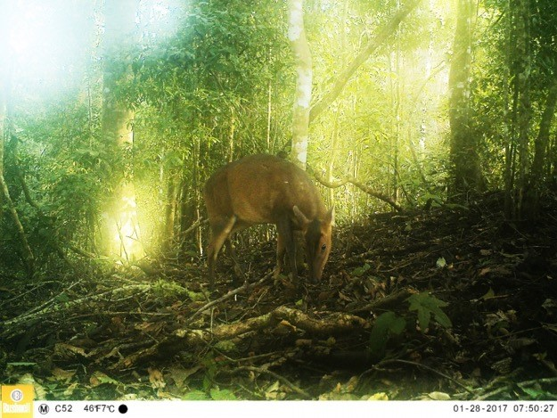 Female large-antlered muntjac camera-trapped in the Lang Biang Biosphere Reserve (Photo credit: The Southern Institute of Ecology and the Saola Working Group)