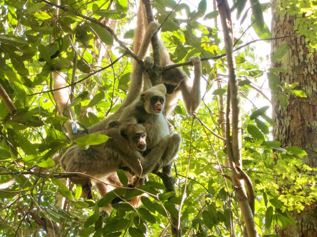 Northern Muriqui Monkeys (photo by Carla Possamai)