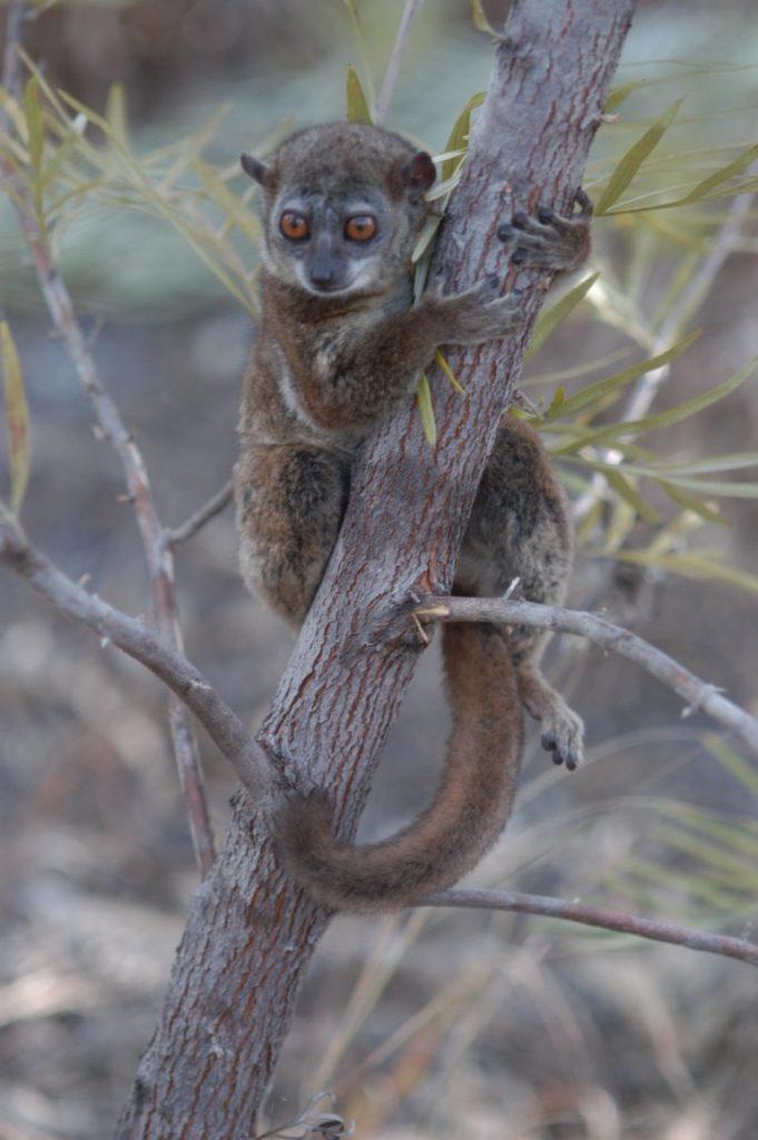 Northern Sportive Lemur from the Analalava in the Sahafaky region. (Photo by E. E. Louis Jr.).