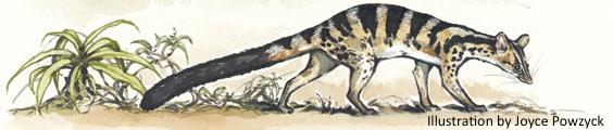Owstons-civet