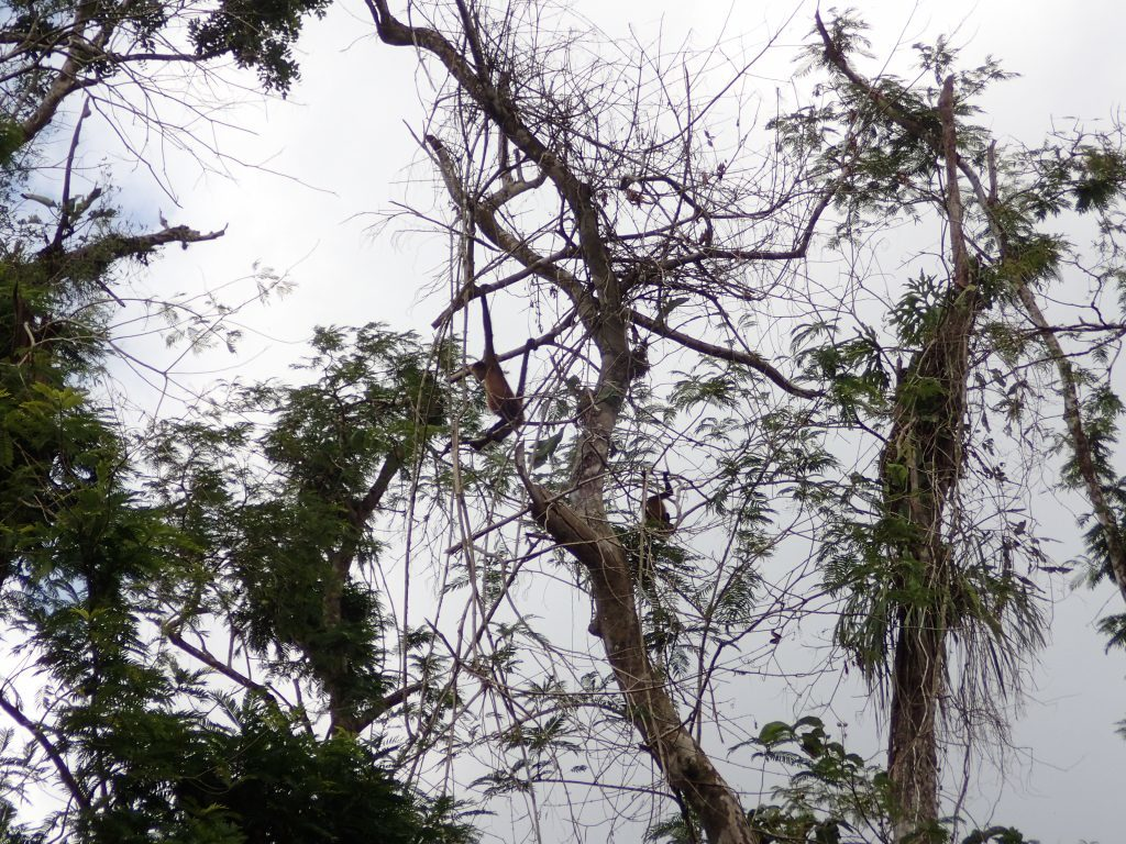 Central American Spider Monkeys (Ateles geoffroyi) hanging from a tree along the river more than five months after Hurricane Otto. (Photo by Paloma Alcazar)