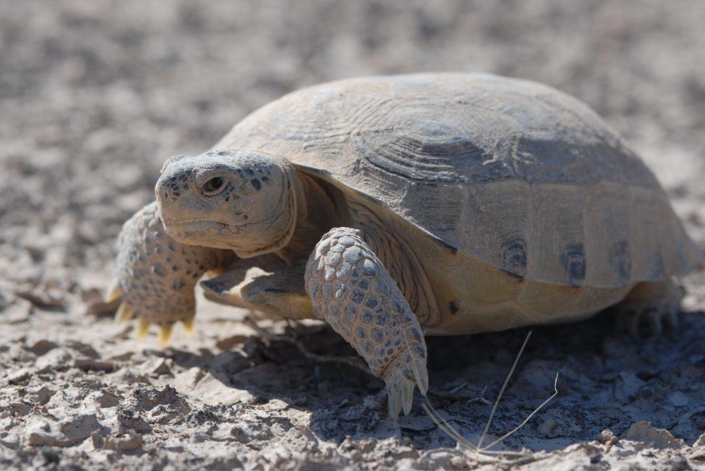 Bolson Tortoise. Photo by Peter Paul van Dijk.