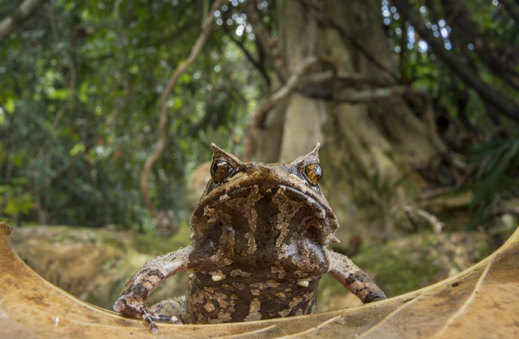Palawan Horned Frog on Palawan, Philippines. (Photo by Robin Moore)
