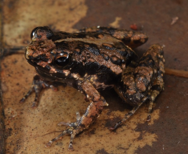 This newly discovered species, the Afia Birago Puddle Frog, is likely rare. (Photo by Adam Leache)