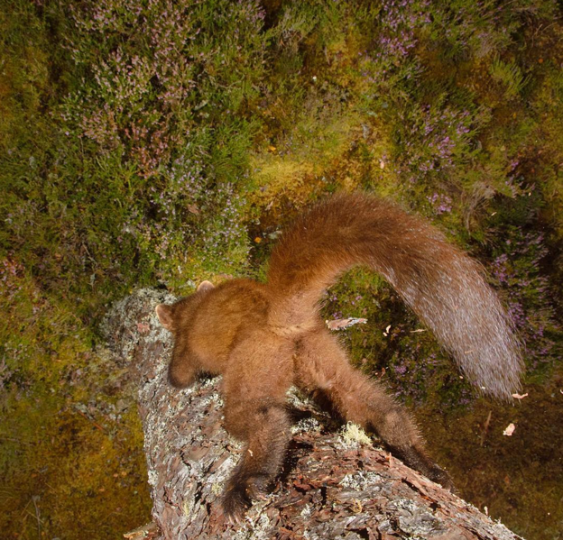 """This camera-trap image of """"cheeky"""" pine marten was the winner of our 2017 #WildlifePhotoFail contest. (Photo by Terry Whittaker)"""
