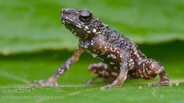 Precious-Stream-Toad