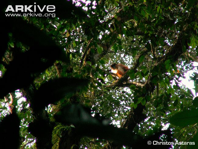 Preusss-red-colobus-in-forest-habitat