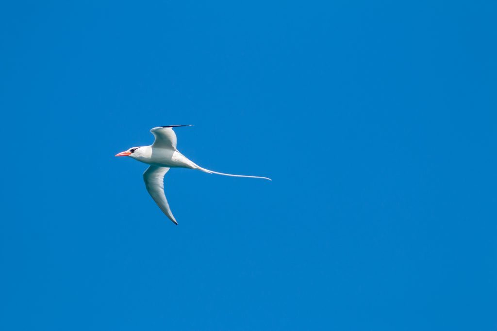 Red-billed Tropicbird. (Photo by Ed Marshall)