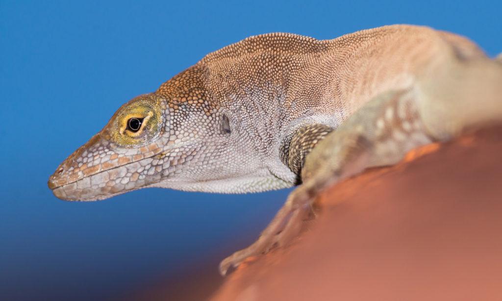 Redonda Tree Lizard. (Photo by Ed Marshall)
