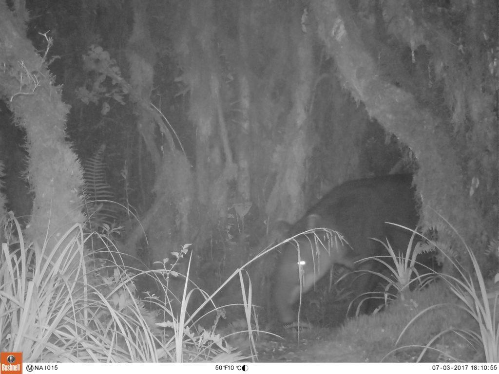 The Endangered Baird's Tapir caught on camera trap.